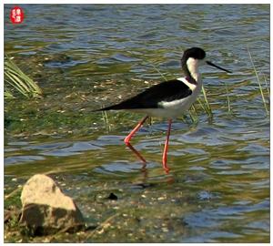 黑翅长脚鹬又名红腿娘子。