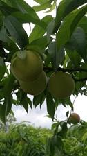 收购订购新西兰桃,后期会收鹰嘴桃,有的朋友请联系