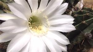 我的仙人球又开花了,分享给大家看看,美吧
