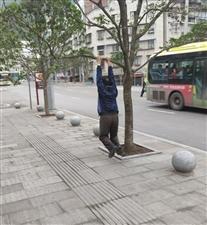 老年人吊树上锻炼,小树苗饱受摧残。