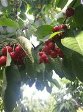 果园的樱桃熟了