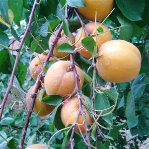 一树青叶盖不住,一串红杏露出来