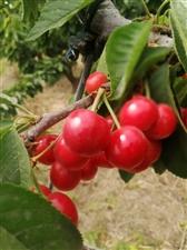 周恩来纪念园(滨州)的樱桃红了