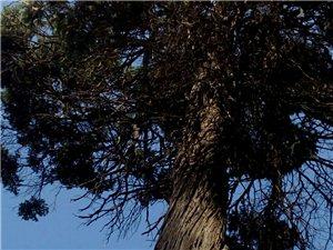 临泉稀少古树品种(一)圆柏