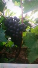 出售玫瑰香葡萄有想批发的欢迎致电15842115816