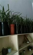 澳门拉斯维加斯在线注册各种兰花,有意者来店选购或预订你想要的,地址东城新苑门卫边东城文具,电话580018