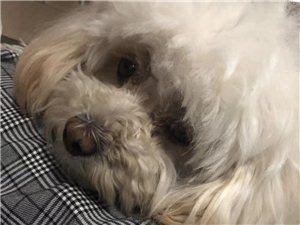 狗狗在2019年5月21日早上在黄一渤九路口走丢了,希望大家多留意一下,狗狗名字叫铛铛,麻烦大家了谢