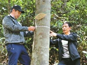 """【百姓聚焦】江山�l�F植物界""""大熊�""""伯���200多棵"""