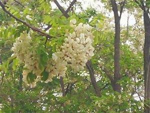 五月槐花路,风起槐花舞,莫叹槐花落,抱香槐子留。小时候,故乡的槐花开得更清香,小孩子们是可以