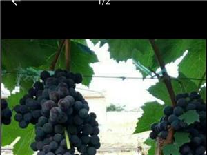 鲜葡萄上市了无籽葡萄