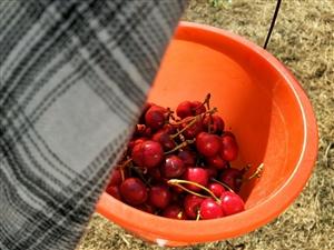 前几天摘樱桃超级愉快的一下午,就是有点累!