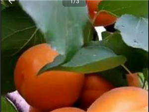 太阳杏新鲜的自己种的葡萄和蜜薯