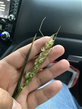 自己蒸的麦子,好吃