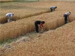 杞县的老乡们您的麦子熟了吗?今天裴村店乡东伯牛岗村的麦子已经开始收了!二十年前,如果在收麦