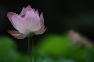 夏荷―摄于珠海度假村酒店人工湖