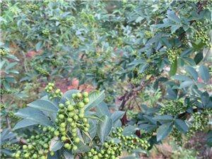 出售青花椒每斤18元,量大���,�系��:15692991224