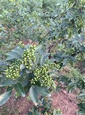 出售青花椒每斤18元,量大从优,联系电话:15692991224