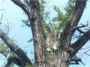 临泉稀少古树品种(二)500年的古银杏树!