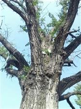 威尼斯人线上平台稀少古树品种(二)500年的古银杏树!
