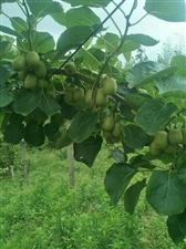 猜一下这是什么水果