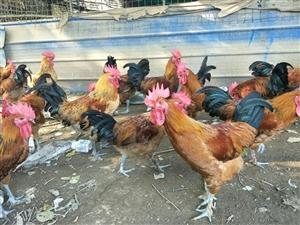 每个月出5个月售土鸡5000只,需要的电话联系15520105215