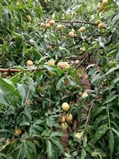 桃子好吃啊