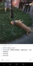倒霉的狗狗