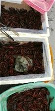 自养小龙虾便宜卖