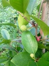 酒饭团,黑老虎结了好多果,你有认识这果子吗?