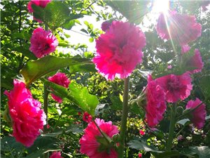 夏日的植物�@里花�_成海了。。。
