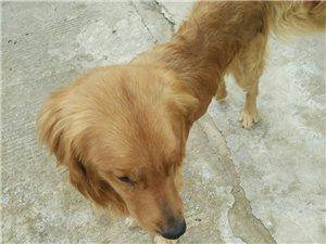 免费送养!本人八号捡了一条流浪金毛,因为马上要去北京了没法带走,求一个爱他的主人!狗贩子