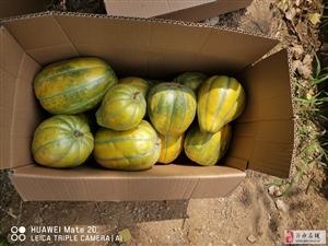 沙地�r家肥大面瓜