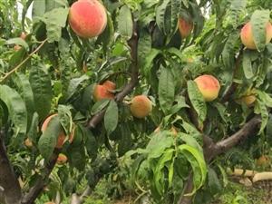澳门金沙网址站西部山区的生态仙桃大量上市,欢迎采摘!