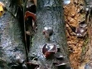 请欣赏视频!天然野木耳