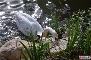 动物在你的印象就是弱肉强食,看看白天鹅的举动,太有爱了……