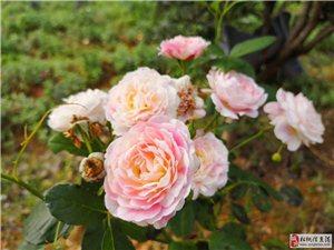 黄板镇纳冲村的??玫瑰,格桑花全部盛开了