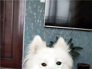 �す�⑹�:白色�_摩耶,中型犬,6月23日晚于�L江五路渤海二十四路走�G,�系��13475060885