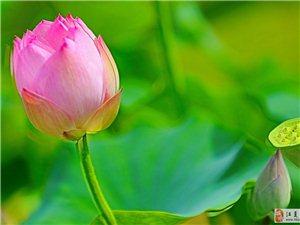 沙湖公园拍照的莲花
