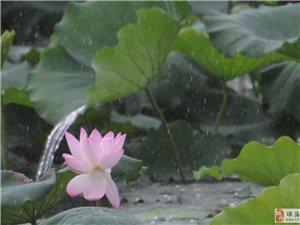 夏日里,珠海度假村酒店人工湖�p雨荷