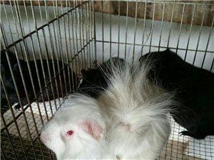出售荷兰猪、彩豚鼠
