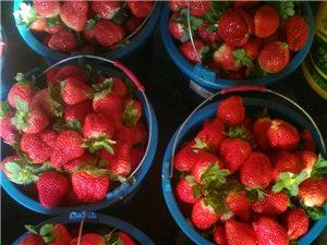 希望草莓采摘�@。
