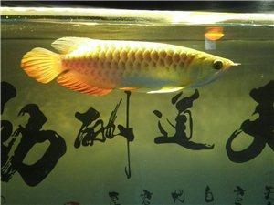 龍魚觀賞魚