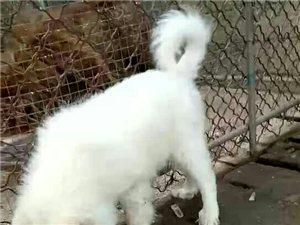 最低价格出售各种宠物犬,工作犬!