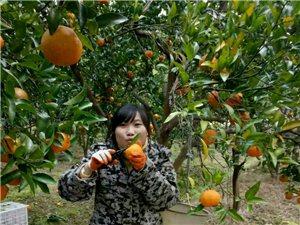 家里頭種的千斤橘子,來人買走
