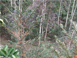 出售苗木紅豆杉