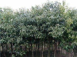 大悟城關鎮羅城村有大量樟樹苗出售