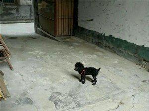 六个月大贵宾犬