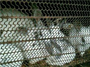 熊貓兔預訂開始了