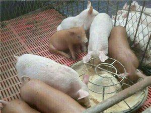 常年出售小猪