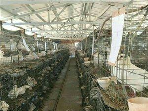 常年出售乳鴿青年鴿種鴿鴿蛋